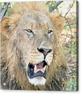 A  Lion Talks Acrylic Print