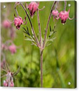 Old Man's Whiskers Wildflower Acrylic Print