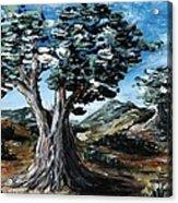Old Olive Tree Acrylic Print