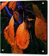 Old Orange Leaves Acrylic Print