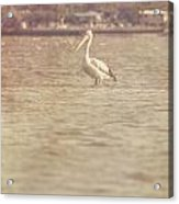 Old Pelican Photograph Acrylic Print