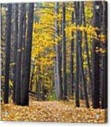 Old Pine Trees Acrylic Print