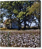 Old Time Farm And Cotton Fields Acrylic Print