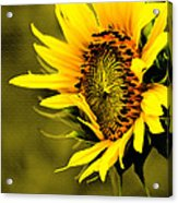 Old Time Sunflower Acrylic Print