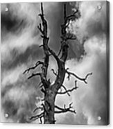 Old Trees Reach For The Sky Acrylic Print