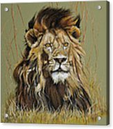 Old Warrior African Lion Acrylic Print by Mary Dove