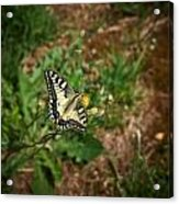 Old World Swallowtail. Montorfano. Cologne Acrylic Print