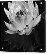 Older And Beautiful Bw Acrylic Print