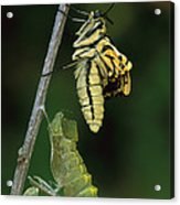 Oldworld Swallowtail Butterfly Acrylic Print