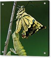 Oldworld Swallowtail Emerging Acrylic Print