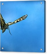 Oldworld Swallowtail Papilio Machaon Acrylic Print
