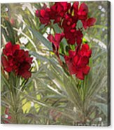 Oleander Blooms - A Touch Of Red Acrylic Print