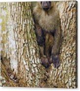Olive Baboon Juvenile Kibale Np Uganda Acrylic Print