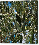 Olive Branch Acrylic Print