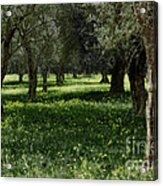 Olive Grove Color Italy Acrylic Print
