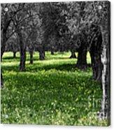 Olive Grove Italy Cbw Acrylic Print