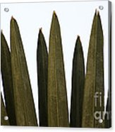 Olive Palm Acrylic Print
