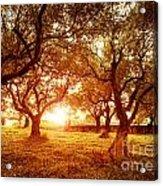 Olive Trees Garden Acrylic Print