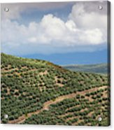 Olive Trees In A Field, Ubeda, Jaen Acrylic Print
