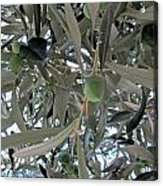 Olives Of The Mediterrenean Acrylic Print