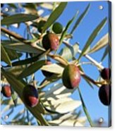 Olives (olea Europaea) On A Tree Acrylic Print