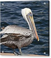On The Edge - Brown Pelican Acrylic Print