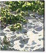 On The Oregon Dunes Acrylic Print