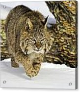 On The Prowl Acrylic Print by Jack Milchanowski