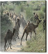 On The Road To Pushkar Acrylic Print