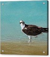 On The Shore - Osprey Acrylic Print