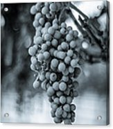 On The Vine  Bw Acrylic Print