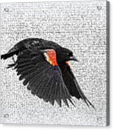 On The Wing - Red-winged Blackbird Acrylic Print