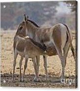 Onager Equus Hemionus 2 Acrylic Print