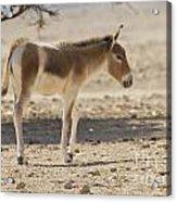 Onager Equus Hemionus Acrylic Print