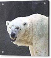 One Angry Polar Bear Acrylic Print