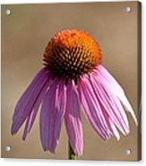 One Coneflower Acrylic Print