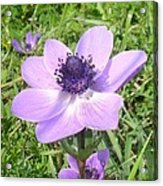 One Delicate Pale Lilac Anemone Coronaria Wild Flower Acrylic Print