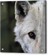 One Eye Wolf Acrylic Print