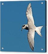One Good Tern Acrylic Print