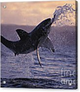 One Great White Shark Jumping Out Of Ocean In An Attack At Dusk Acrylic Print by Brandon Cole