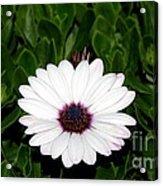 One Hit Wonder Gerbera Daisy Acrylic Print