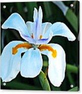 One Irisen Acrylic Print