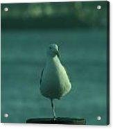 One Legged Sea Gull Acrylic Print