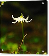 One Lily Almost Alone Acrylic Print