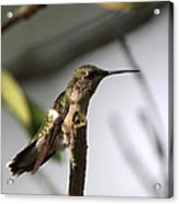 One Out Of Place - Hummingbird Acrylic Print