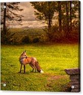 One Red Fox Acrylic Print
