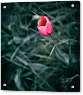 One Single Pink Tulip  Acrylic Print