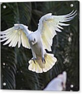 One Small Step For Bird Kind Acrylic Print