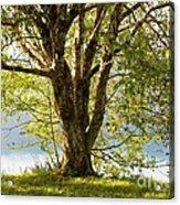 One Spring Tree Acrylic Print