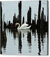 One Swan Acrylic Print